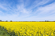 Canola crop in field under cirrus cloud in rural country Victoria, Australia