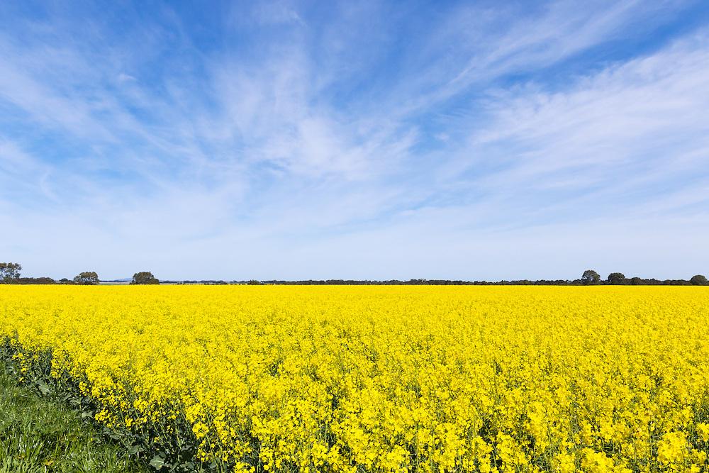 Canola crop in field under cirrus cloud in rural country Victoria, Australia