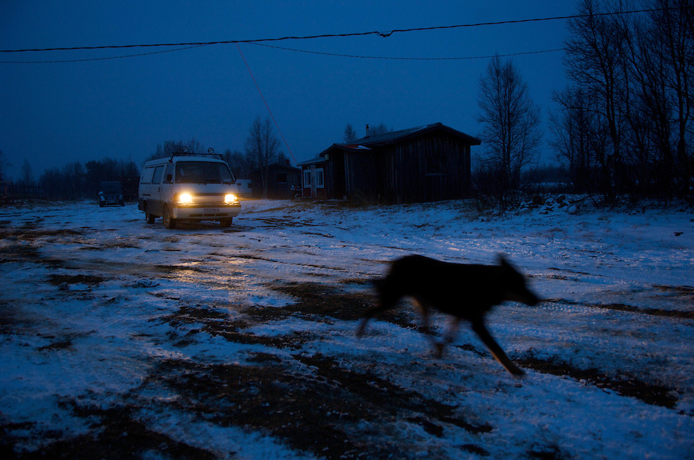 A reindeer herding dog whisks across the icy tundra after the first day of the roundup and the first snowfall of the year. Temperatures in winter can plunge to -60 degrees C.  Despite the inhospitable Arctic climate reindeer herding has been the livelihood of the Sami for more than a thousand years, but amid the economic, technological, and environmental problems of modern society their indigenous culture must increasingly reconcile these radical changes in order to preserve age-old traditions, customs, and mores.