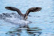 Canada Goose (Branta canadensis) Landing-Sequence #4