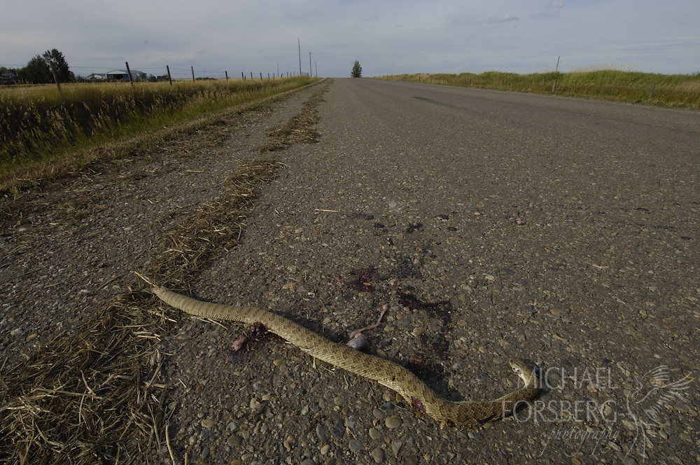 Near Medicine Hat, Alberta. ..Prairie rattlesnake dead on road near South Saskatchewan River...Endangered species in Canada, road mortalities and increased grassland conversion to cropland, esp during plowing, are two key threats to species. ..