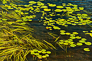 Aquatic vegetation on Isabel Lake (Lily pads and Sparganium)<br />