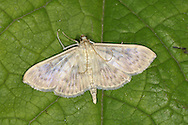 Mother of Pearl Pleuroptya ruralis Wingspan 25-38mm. A distinctive moth that sometimes is found resting on wayside vegetation in daytime. Adult has buffish wings with dark lines and veins, and mother-of-pearl lustre. Flies June-Aug. Larva feeds in rolled-up leaf of Common Nettle. Widespread and common throughout much of Britain.