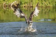 Osprey flies up from pond after capturing a large fish, © 2015 David A. Ponton