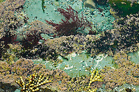 Seaweed and corals in a tide pool, closeup. Nature photography wall art for sale. Fine art photography prints, stock images