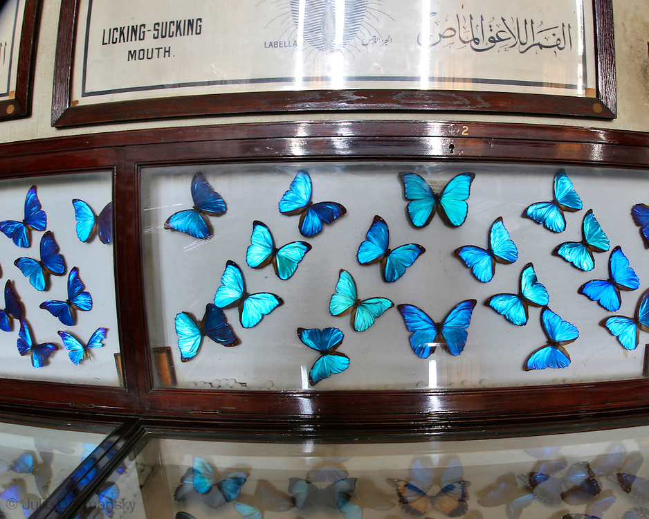 butterflies on display in the agriculture museum in Cairo Egypt