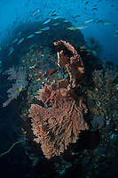 Fusiliers and Sea Fan