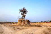 saving holy trees in a sand quarry near Jodhpur, Rajasthan, India, Asia