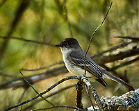 Eastern Phoebe in a tree. Image taken with a Nikon N1V3 camera and 70-300 VR lens (ISO 400, 300 mm, f/5.6, 1/250 sec).