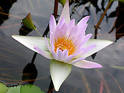 Pale Violet Water Lily in a pond ~ sweet, delicate and graceful.<br />