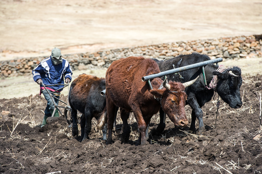 Oxen pulling a plow up a rocky hill with their keeper in Somenkong, Lesotho, Africa