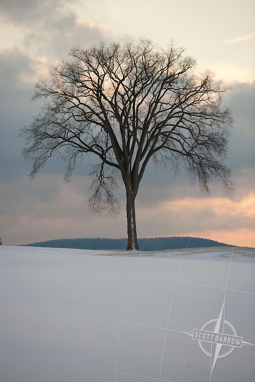 Elm tree during winter sunset