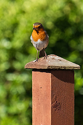 A Robin Erithacus rubecula sits on a fence post in a British Suburban Garden <br /> <br /> 22 April 2020<br /> <br /> www.pauldaviddrabble.co.uk<br /> All Images Copyright Paul David Drabble - <br /> All rights Reserved - <br /> Moral Rights Asserted -