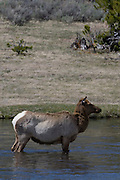 USA, Wyoming, Cow Elk Crossing Madison River, Yellowstone National Park