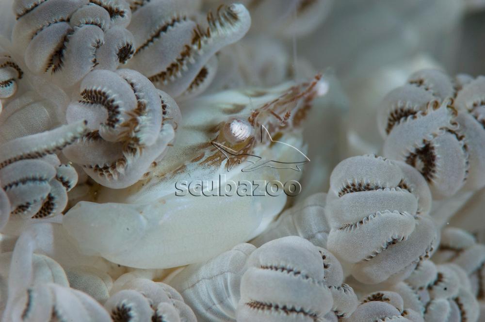 Porcelain Crab, Anilao, Solo, Anilao Mabini, Batangas, Philippines