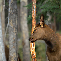 calf elk rubbing a fir tree