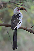 Kenya, Samburu National Reserve, Kenya, Red-billed Hornbill Tockus erythrorhynchus on a tree