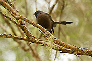 The NZ fantail species is dimorphic; that is, two colour phases exist. In addition to the usual pied, or black and white form, there is a black one.