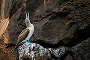 Blue-footed Booby (Sula nebouxii excisa)<br /> Buccaneer Cove, Santiago Island<br /> Galapagos Islands<br /> Ecuador<br /> South America