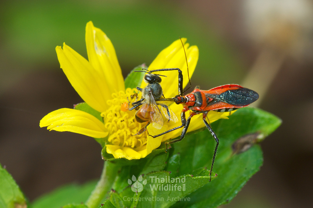 Rhynocoris fuscipes Assassin Bug (Reduviidae) hunting and feeding on a bee in Chaloem Phrakiat Thai Prachan National Park, Thailand.