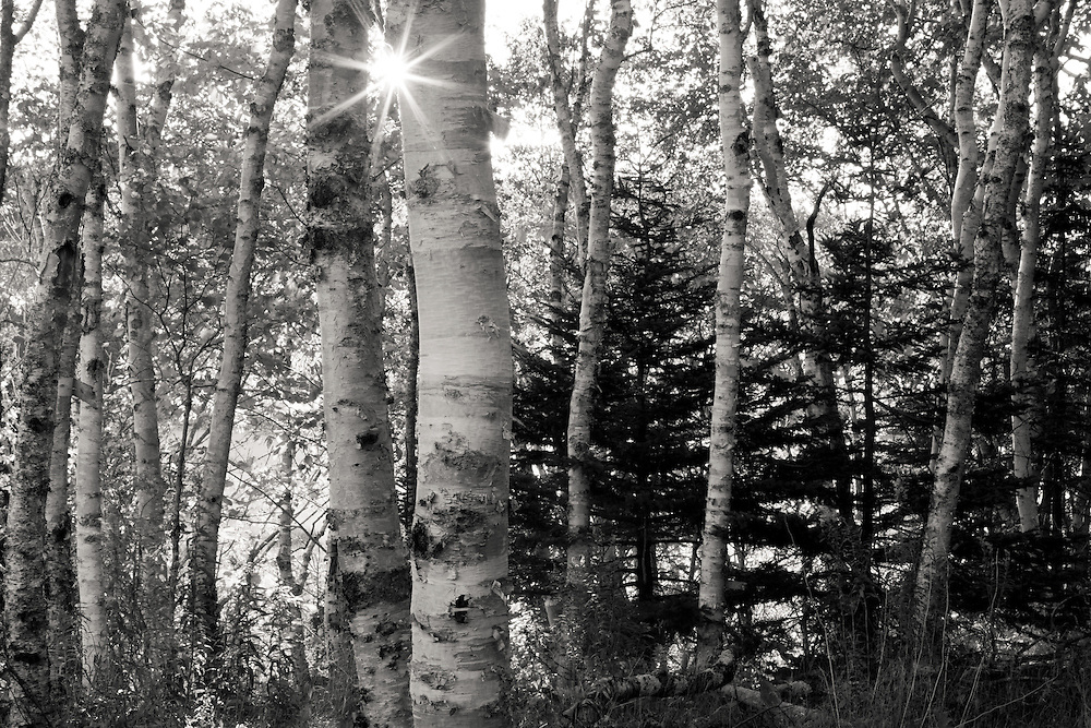 sunlight streams through a birch forest in Acadia National Park, Maine black and white