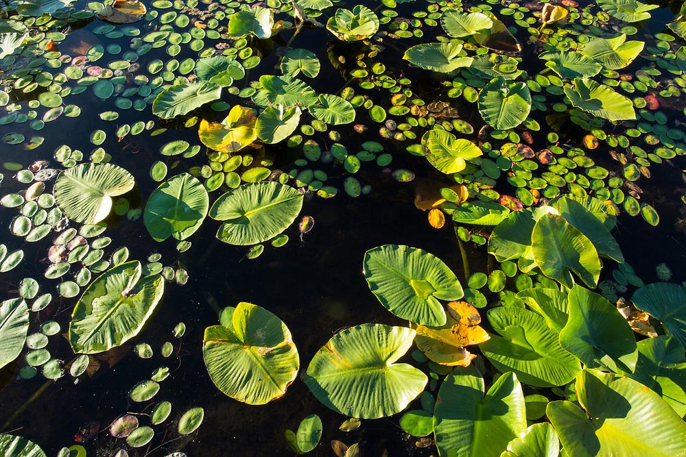 Lilly pads on small lake, Montana.