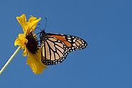 Danaus p. plexippus - Monarch