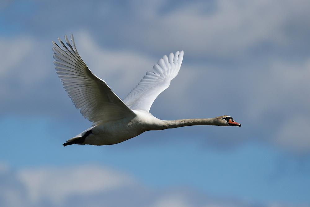 Mute swan, Cygnus olor, Nemunas River Delta, Lithuania