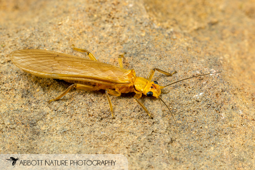 Stonefly (Eccoptura xanthenes)<br /> United States: Alabama: Tuscaloosa Co.<br /> Tulip Tree Springs off Echola Rd.; Elrod<br /> 24-Jun-2016<br /> J.C. Abbott #2837