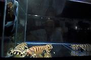 Mantis shrimp (Lysiosquillina maculata) - Seit anderthalb Jahren finden sich die Fangschreckenkrebse auch auf den Tellern von Einheimischen und Touristen in Nord-Sulawesi wieder. Hier in einem Seafood Restaurant in Manado kann man sich sein Exemplar zum Abendessen aussuchen.