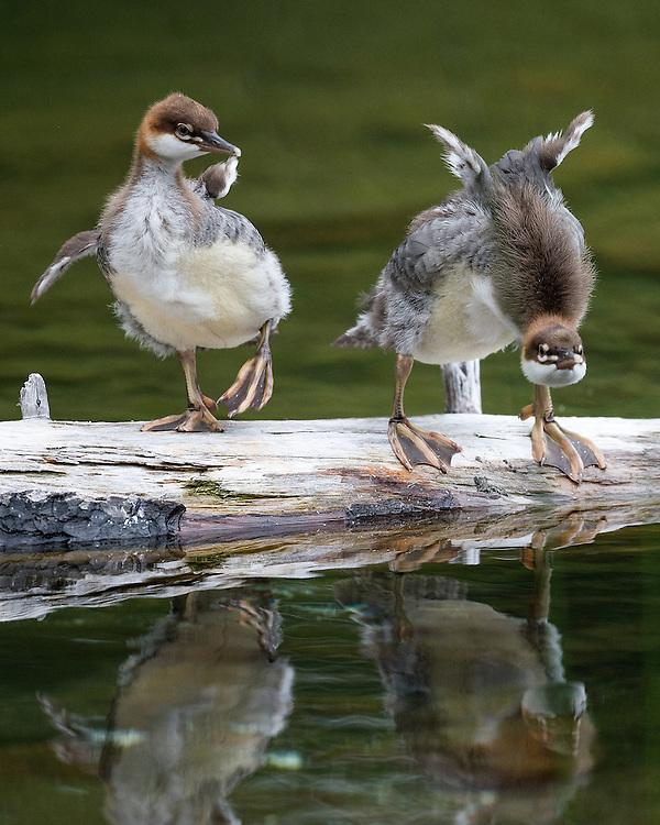 Common Merganser (Mergus Merganser), Jordan Pond, Acadia National Park, Maine Common Merganser on Jordan Pond, Acadia National Park, Maine