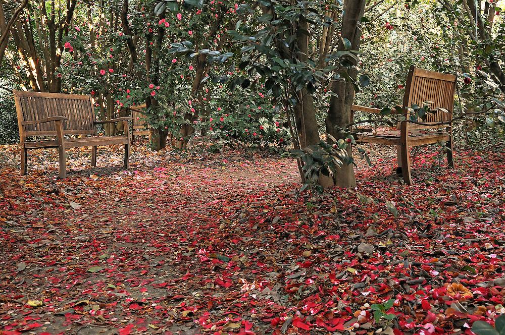 France, Languedoc Roussillon, Gard, Cévennes, Alès, jardin: Les Camellias de la Prairie, fleurs de Camellias, la clairière des centenaires