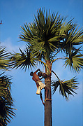 Sri Lanka. Palymrah palm and a toddy tapper. The sap of the flower is 'tapped' every morning. The palm sap may be used to make a palm sugar called jaggery, or drunk fresh. It ferments by evening and is used to make arrack, an alchoholic brew. Jaffna Peninsula.