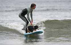 © Licensed to London News Pictures. 17/07/2012..Saltburn, England..Meg is an adventurous dog, highly trained by her owner Sam Davis, the Collie can always be seen performing tricks and entertaining tourists who visit the beach in the Victorian seaside town of Saltburn by the Sea in Cleveland...Now, for an extra challenge, she has taken to the water to improve her long boarding skills...Photo credit : Ian Forsyth/LNP