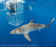 A Silky Shark, Carcharhinus falciformis, swims offshore Jupiter, Florida, United States, past a shark cage with tourists.