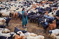 Mongolie, Province de Arkhangai, campement nomade, troupeau de mouton // Mongolia, Arkhangai province, nomad camp, sheep herd