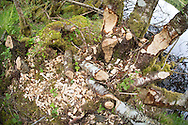 Tree(s) with signs of beaver feeding activity, Knapdale Forest, Argyll, Scotland.