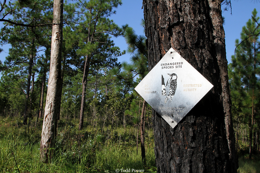 Sign showing endangered red-cockaded woodpecker (Picoides borealis) habitat.  Hoke County, North Carolina