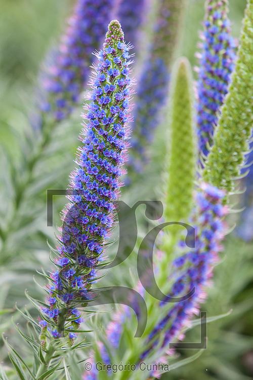 Arbusto (Echium) da família das boragináceas, com pequenas flores azuis ou roxas em inflorescência de formato alongado, endémico da Madeira, flores, Maçaroco azul,