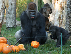 Kumbuka the silverback gorilla with a 'Donald Trump' pumpkin during a photo call ahead of Halloween, at London Zoo.
