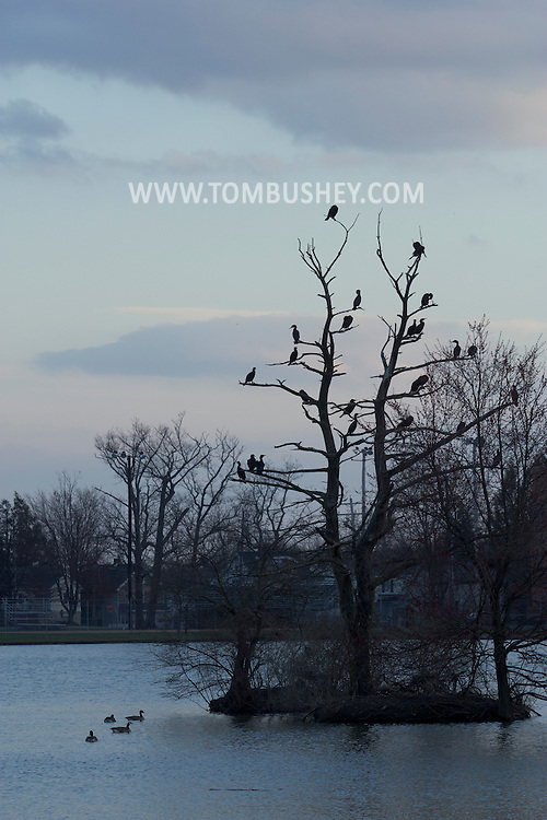 Middletown, New York - Double-crested cormorants (Phalacrocorax auritus) gather in the branches of a tree in the lake at Fancher-Davidge Park in Middletown on April 13, 2013.