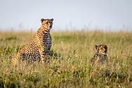 Maasai Mara National Reserve, Kenya, Cheetah (Acinonyx jubatus)<br /> The 5 brothers