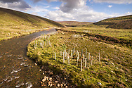 Trees planted along the river gairn are protected by guards and fences to defend against grazing pressures.  This is part of the Pearls in Peril project to improve habitat quality for freshwater pearl mussels and salmonids.