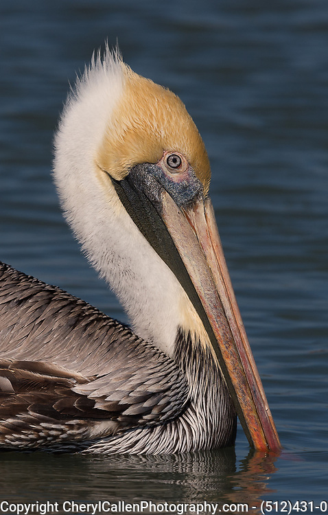 Brown Pelican close up portrait