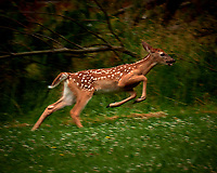 Rambunctious Fawn with Spots Running. Image taken with a Fuji X-T2 camera and 100-400 mm OIS telephoto zoom lens