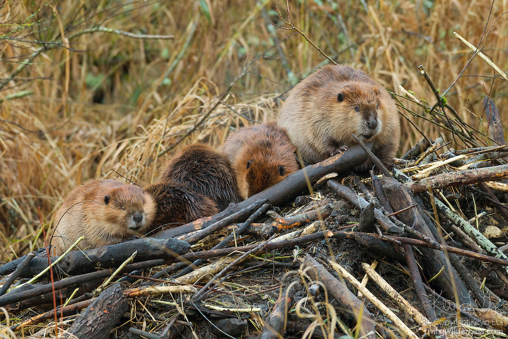 Five North American Beavers (Castor canadensis) rest on top of their lodge in North Creek, Bothell, Washington. Beavers, the largest rodent in North America, live in lodges that are designed to protect them from predators. The mud that holds the sticks together freezes like concrete, making the structure virtually impenetrable. During large winter floods, however, the beavers occasionally have to evacuate the lodge and rest on its roof until the flood waters recede.