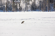 Red fox hunting in the snow, Yellowstone National Park