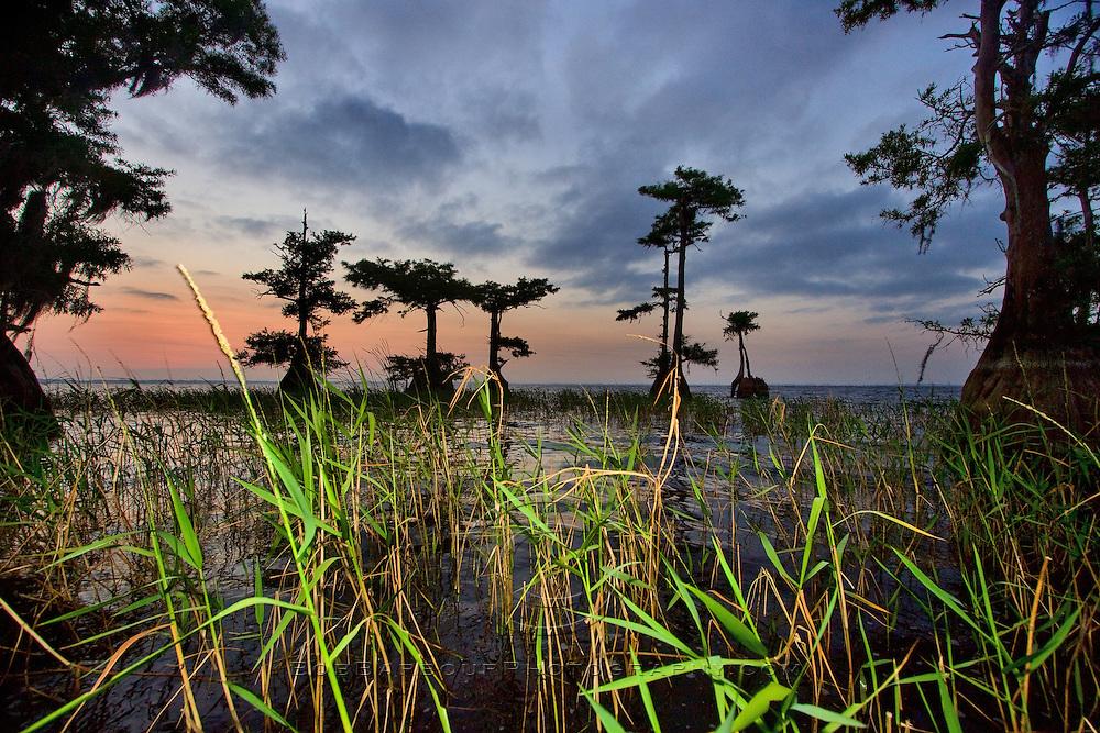 Marsh foliage shines at Blue Cypress Lake, Florida
