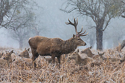 © Licensed to London News Pictures. 17/03/2018. London, UK. A stag with only one antler in Bushy Park, southwest London, as more snow falls over the capital. Photo credit: Rob Pinney/LNP