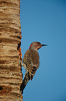 Gila Woodpecker (Melanerpes uropygialis) on tree trunk